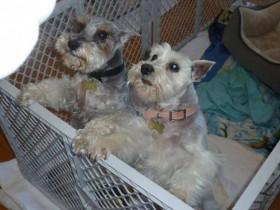 Adopt Gracie and Kaiser (Schnauzers)