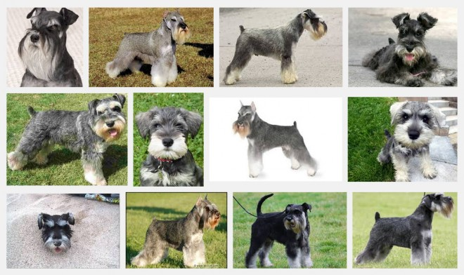 Mini Schnauzer Breed Info