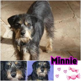Adopt Minnie (Schnauzer)