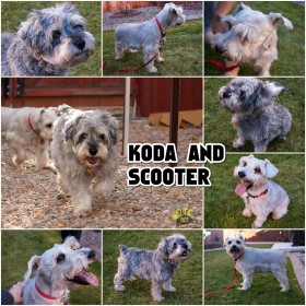 Rescue Koda and Scooter (Schnauzers)