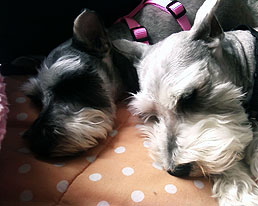 Sleepy Mini Schnauzers