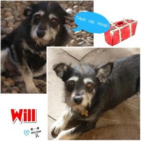 Adopt Will (Terrier/Schnauzer)