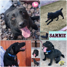 Sammie (Patterdale Terrier / Jack Russell) for adoption