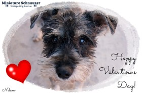 Nelson (Schnauzer for Adoption) Valentine's Wish