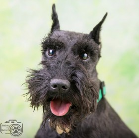 Teddy (Black Schnauzer for Adoption)