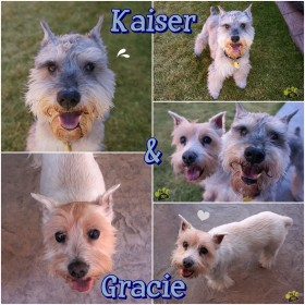 Gracie & Kaiser (Mini Schnauzers for Adoption)