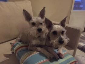 Bruiser & Lola (Mini Schnauzers for adoption)