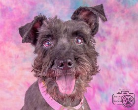 Ellie (Mini schnauzer for adoption)