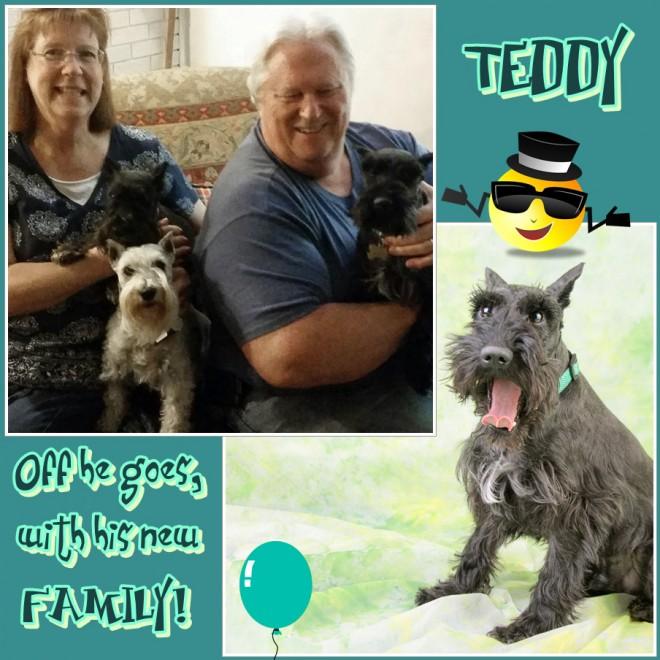 Teddy (Black Schnauzer for Adoption)