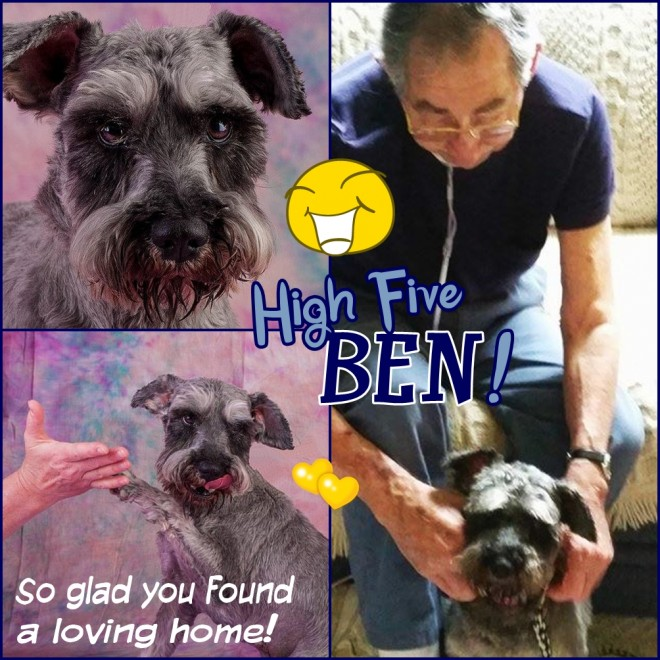 Ben (Mini Schnauzer) adopted
