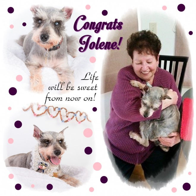 Jolene (Mini Schnauzer) adopted