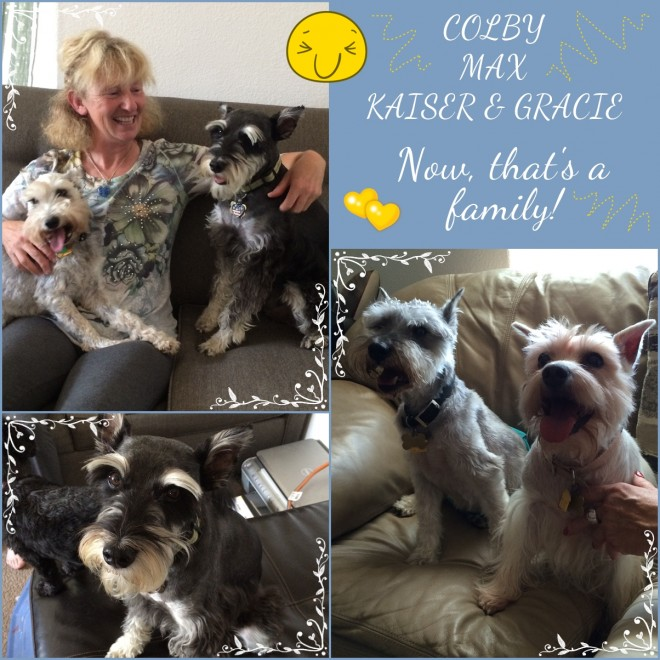 Colby, Kaiser, Gracie (Schnauzers adopted)