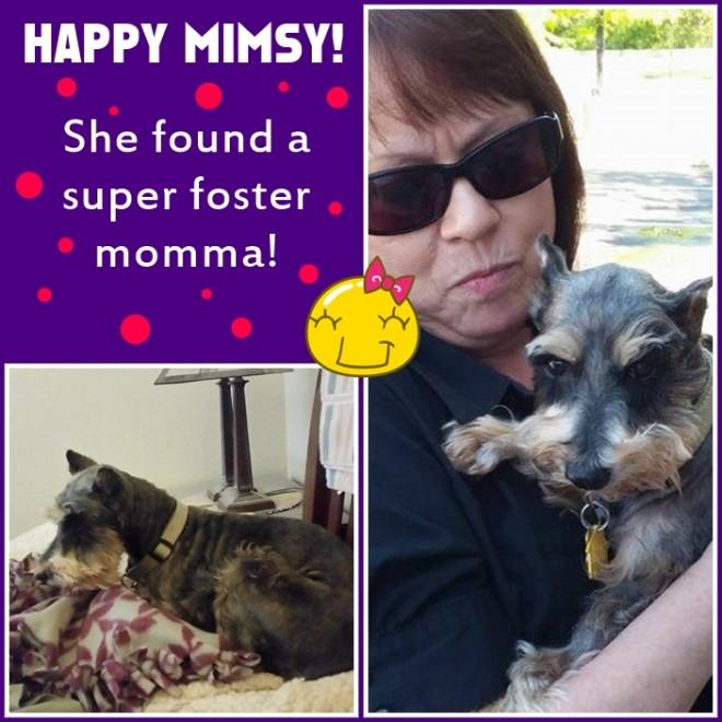 Mimsy (Mini Schnauzer - foster awesome)