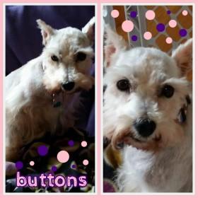 Buttons (Mini Schnauzer) for adoption