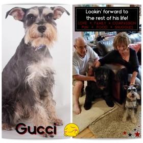 Gucci (Mini Schnauzer) adopted