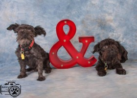 Marco & Polo (Small Terriers for adoption)