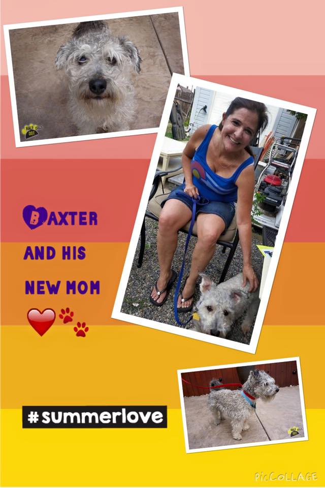 Baxter (mini schnauzer rescued)