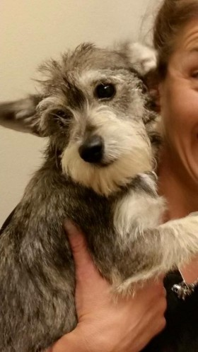 Daisy (Schnauzer/Terrier Mix for adoption)