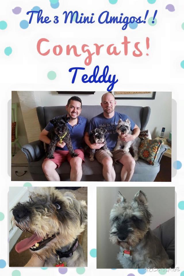 Teddy (Adopted mini schnauzer)