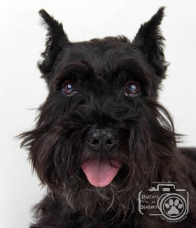 Barney (Black Mini Schnauzer for adoption)
