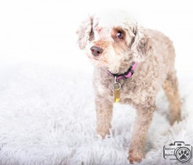 Chocolate (Poodle) for adoption
