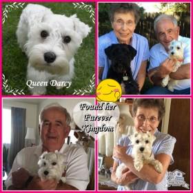 Darcy (Mini Schnauzer) adopted