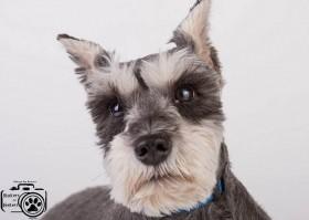 Jackson (Schnauzer) for adoption