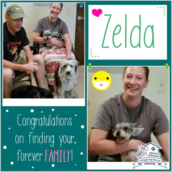 Zelda (Mini Schnauzer) adopted