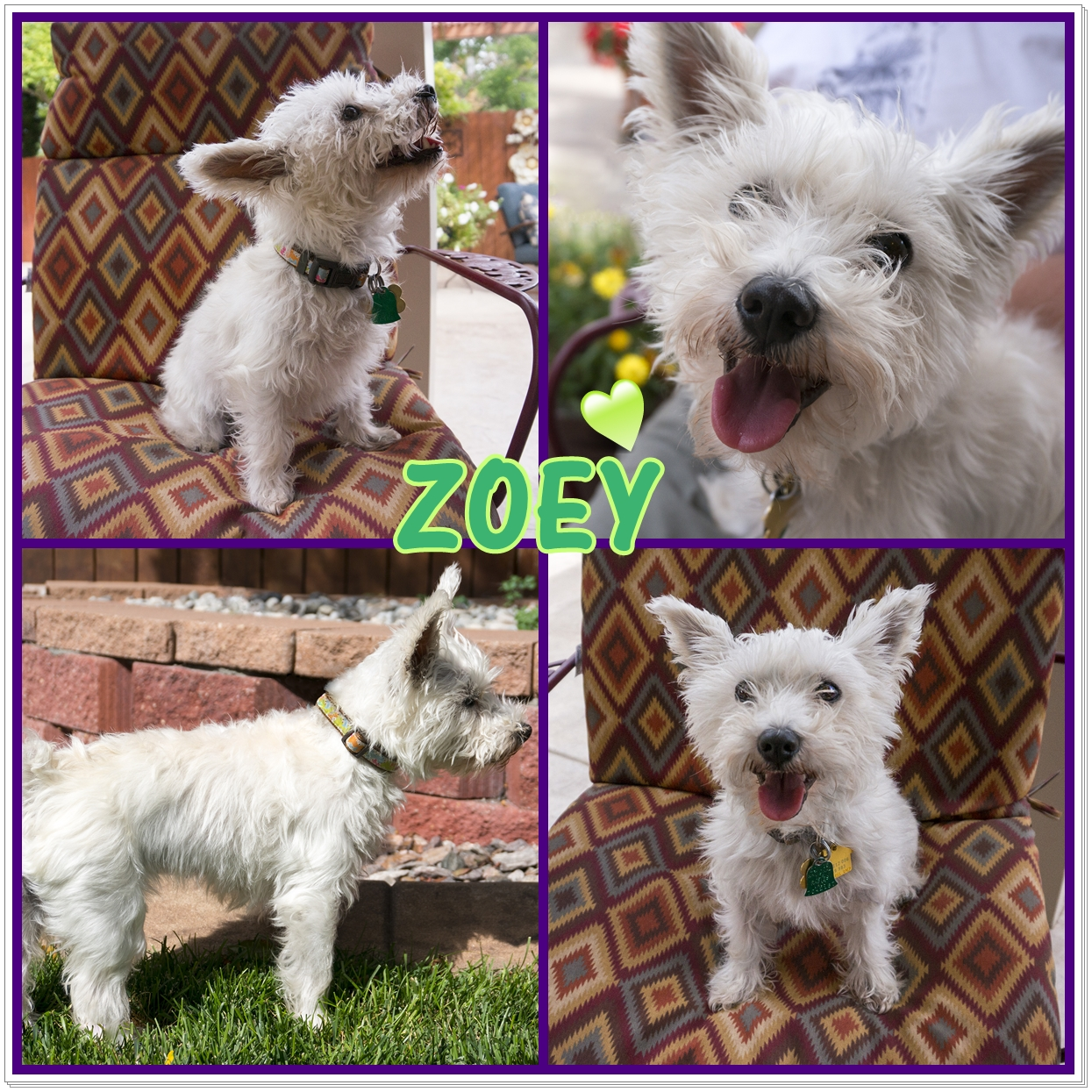Adopt Zoey: a sweetie with an attitude