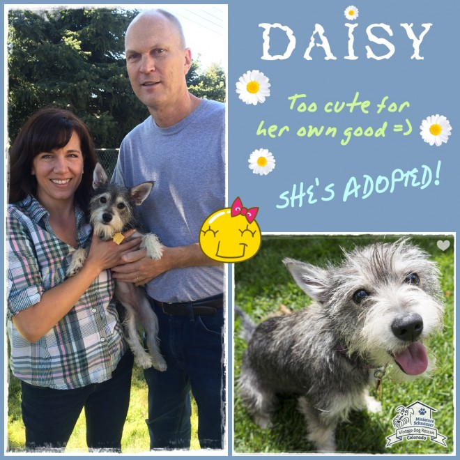 Daisy (Schnauzer/Terrier Mix adopted)