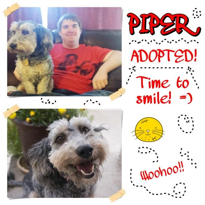 Piper (Schnauzer / Bichon Frise adopted)