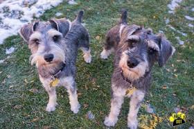 Kingston & Sam (Mini Schnauzers for adoption)