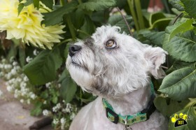 Silver (Schnoodle for adoption)
