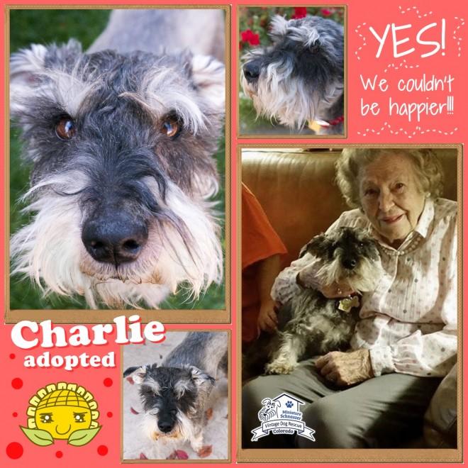 Charlie (Mini Schnauzer) adopted