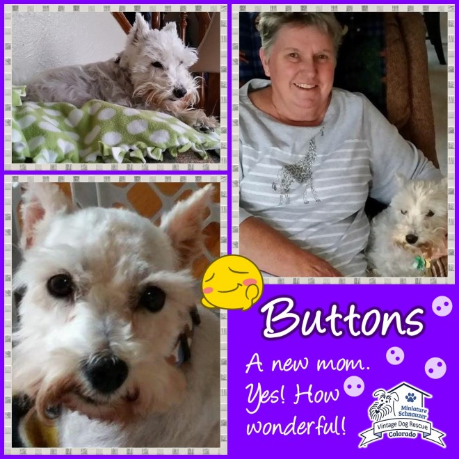 Buttons (Mini Schnauzer adopted)