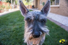 Ezra (Mini Schnauzer for adoption)