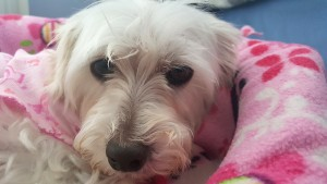 Holly (Maltese/Schnauzer Mix for adoption)