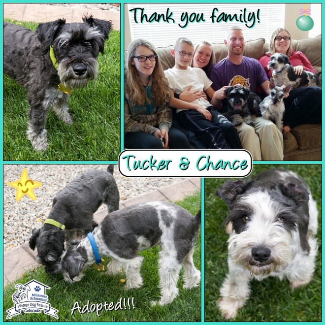 Tucker & Chance (Mini Schnauzers adopted)