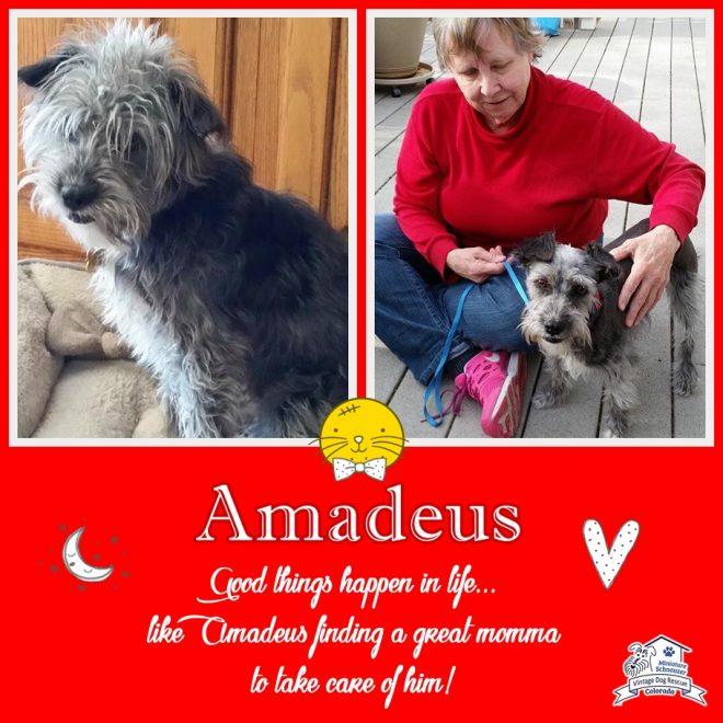 Amadeus (Mini Schnauzer adopted)