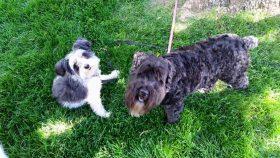 Bonnie & Clyde (Schnauzer & Terrier for Adoption)