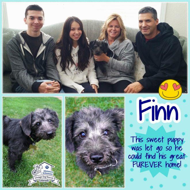 Finn (Mini Schnoodle adopted)