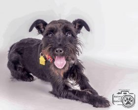 Max (Schnauzer - Terrier Mix for Adoption)