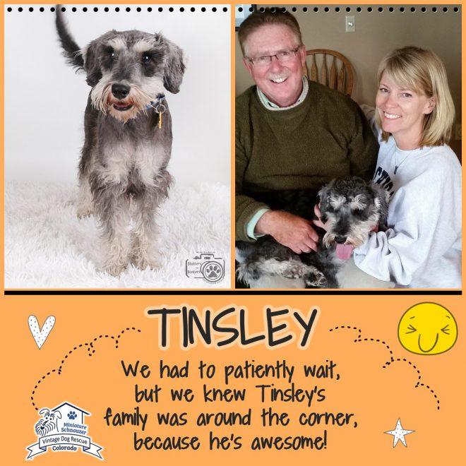 Tinsley (Mini Schnauzer adopted)