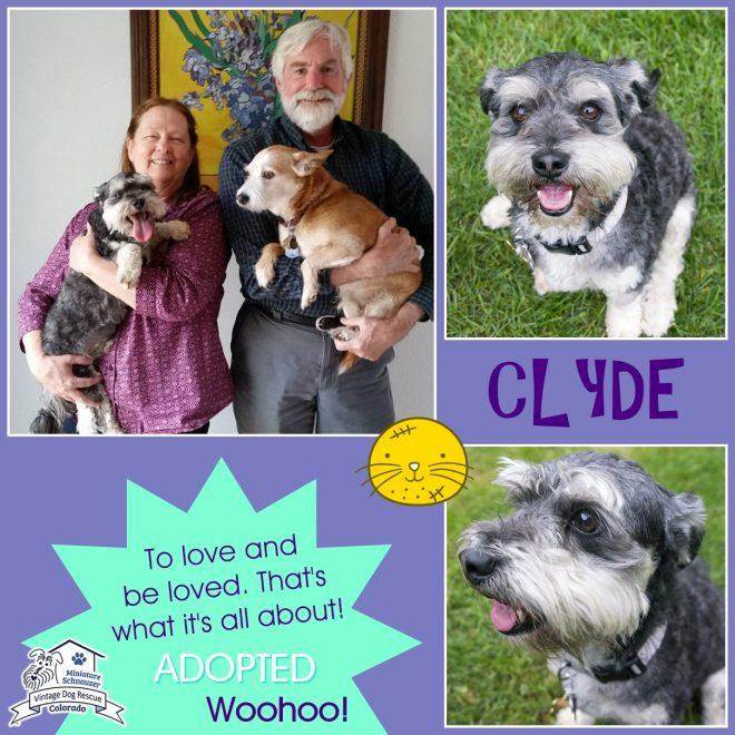 Clyde (Mini Schnauzer adopted)