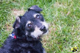 Minnie (Terrier mix for adoption)