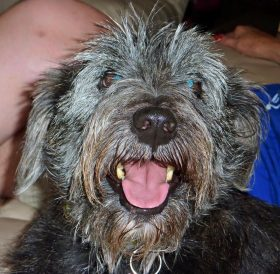 Bradley (Terrier mix for adoption)