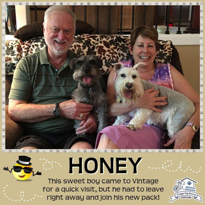 Honey (Mini Schnauzer) adopted
