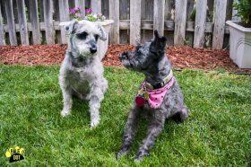 Pup Pup & Darjeeling (Mini Schnauzers for adoption)