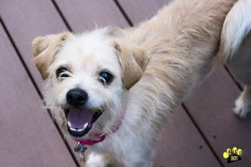 Scooby (Terrier mix for adoption)