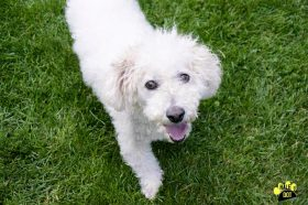 Thumper (Bichon / Poodle mix for adoption)